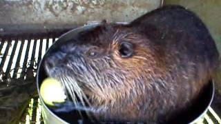 Нутрія їсть яблуко * Nutria eats an apple