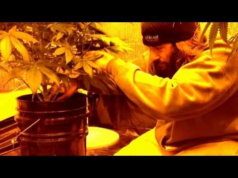 Morning Routine With Growphicial Hydroponic Bucket Drip System