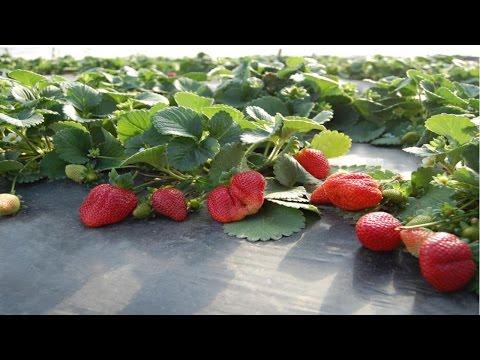 Clique e veja o vídeo Curso Produção de Morango Orgânico - Cultivo de Morango Orgânico