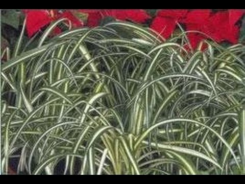 Plantes d 39 appartement kentia dieffenbacchia felce for Plante d appartement