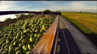 VIDEO: Mango Francique Haiti, yon kanpay pou vann li lòtbò dlo