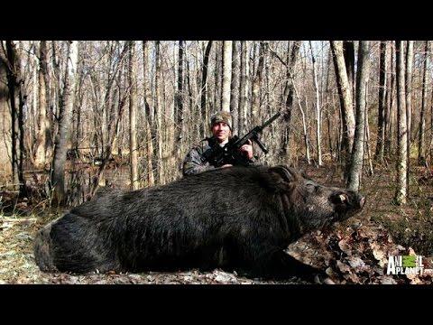 Bringing Down a Giant Boar - YouTube