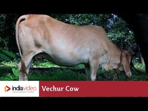 Vechur Cow – a rare cattle breed of Kerala