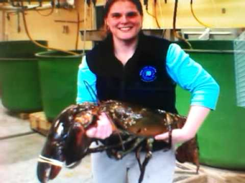 27-pound lobster caught off Rockland Maine - YouTube