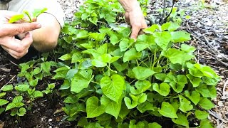 Growing Sweet Potatoes for FOOD SECURITY // How & Why You Should Grow this Crop