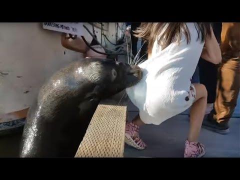 Leon Marino arrastra a niña al mar. Sea lion drags girl