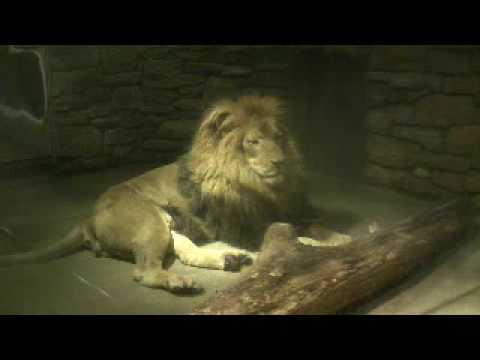 物思いにふけるライオンくん