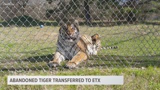 Abandoned tiger transferred to ETX