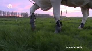 """Koerijden: """"Mijn koe Roos zit in het verkeerde lichaam"""""""