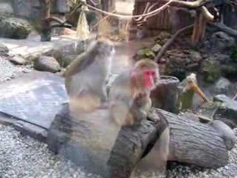 Gay Monkey Video