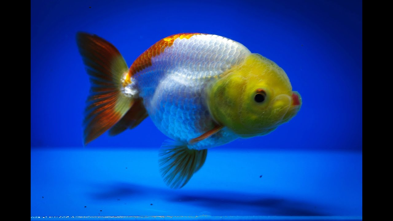 Sold ranchu goldfish for sale fb139 youtube for Gold fish for sale
