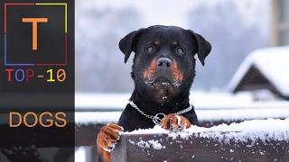 Top 10 Dangerous Dog Breeds 2017
