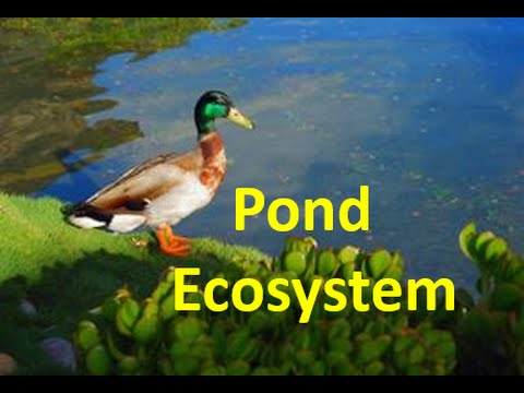 Pond Ecosystem For Kids - Pond Ecology Facts & Quiz video
