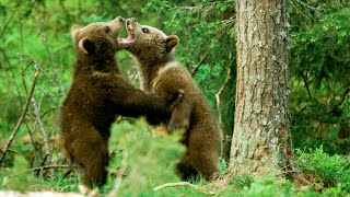 Baby brown bears are Seriously Cute! | Seven Worlds, One Planet | BBC Earth