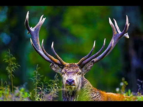 Red Deer Rut/ Mating Season. Sir David Attenborough's opinion