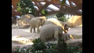 මේ තමයි දෙමාපියන්ගේ ආදරය...!! ඒකට සත්තු කියලා වෙනසක් නෑ..!! Ausrutscher von Baby Elefant Omysha - Zo