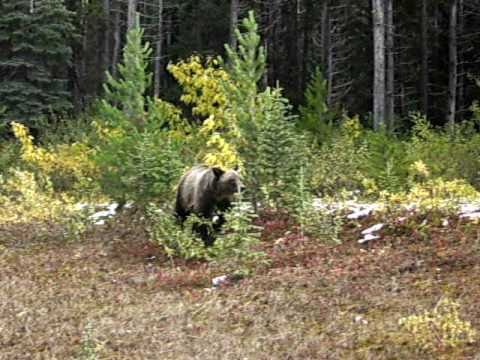 Grizzly Bear being filmed on the shoulder of Spray Lake Smith-Dorien Road south of Canmore in the Kananaskis Country. September 18th 2010. Visit http://ursus...