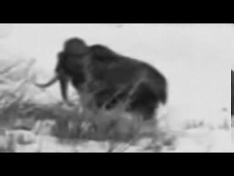 REAL WOOLY MAMOTH ALIVE, YAKUTSK CITY, SAKHA REPUBLIC, SIBERA, SOVIET UNION 1943, CRYPTOZOOLOGY