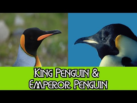 King Penguin and Emperor Penguin - The Differences