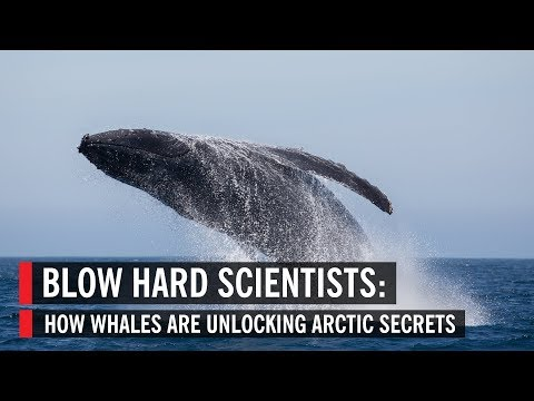 Blow Hard Scientists: How Whales Are Unlocking Arctic Secrets