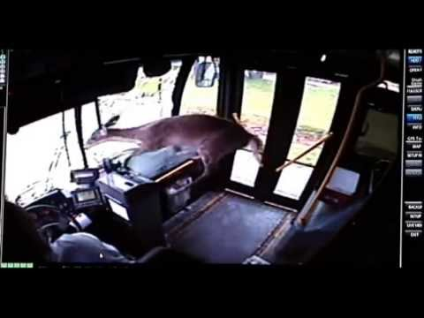 Deer Crashes Through Windshield, Panics On Bus - CAUGHT ON VIDEO - RAW