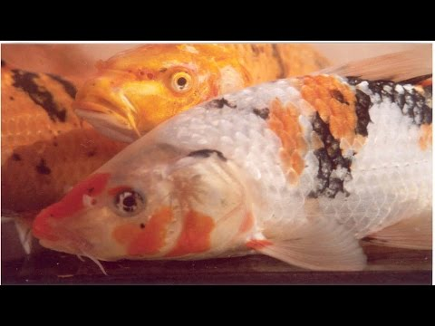 Curso Criação de Peixes - Principais Espécies e Suas Características