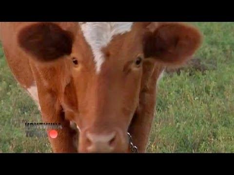Удивительное спасение коровы Марты   Критическая точка
