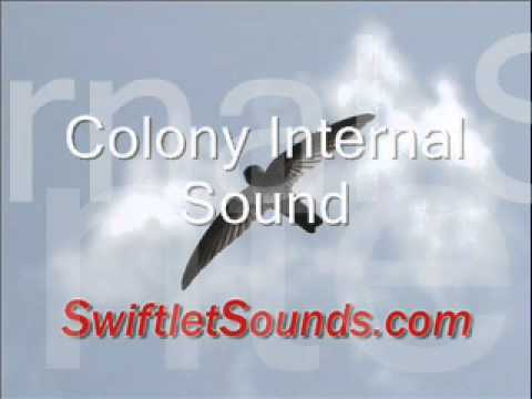 Swiftlet Sound - Colony Internal Sound video