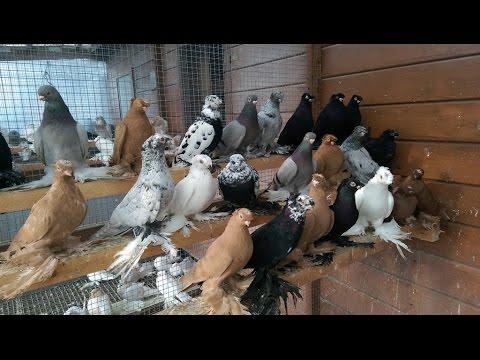 Usbekische tauben / Узбекские голуби ( Alexander Zickert , Sassenburg, Германия )