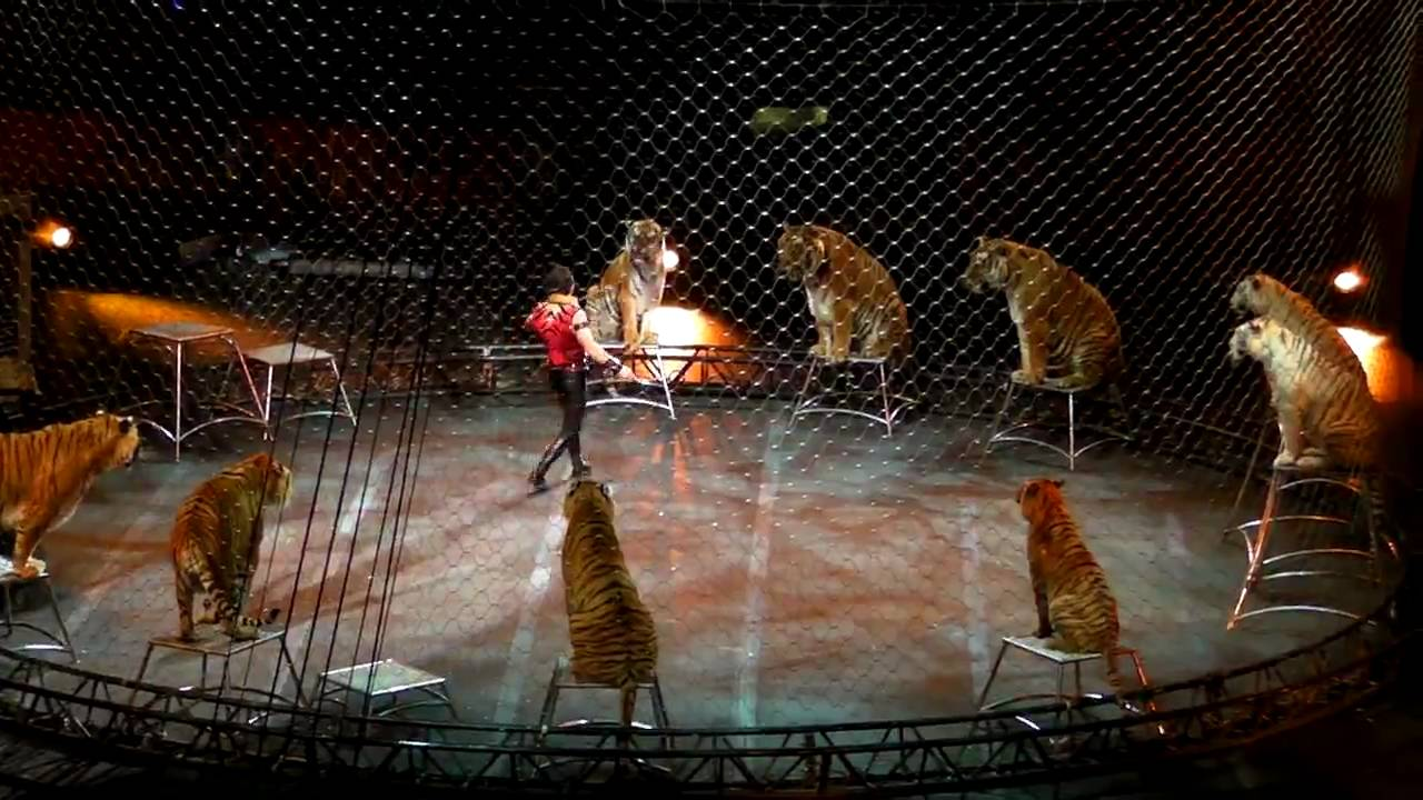 Ringling Bros And Barnum And Bailey Circus Daniel Raffo Tigers Youtube