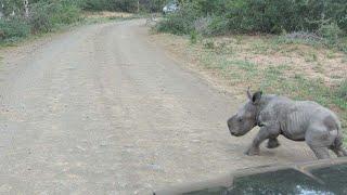 Baby Rhino Chases Car