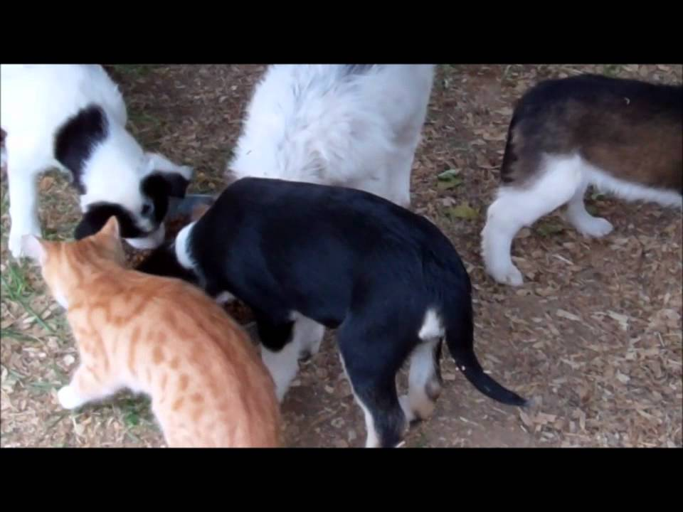 Do Collies Get Along With Cats