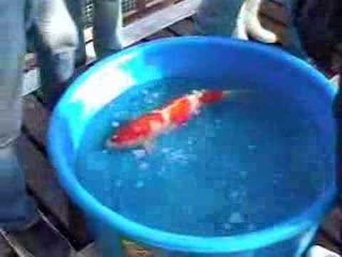Sakai Koi Farm Hiroshima http://wn.com/BIG_KOI_AT_YAVAPAI_COLLEGE_PART_I