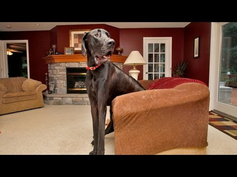 World s Tallest Dog