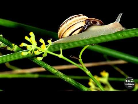 ¿Sabes como es un caracol terrestre?.
