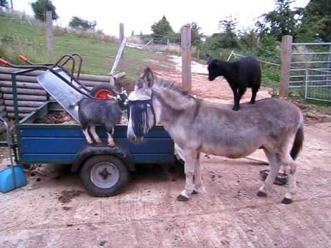 Goats and Donkeys