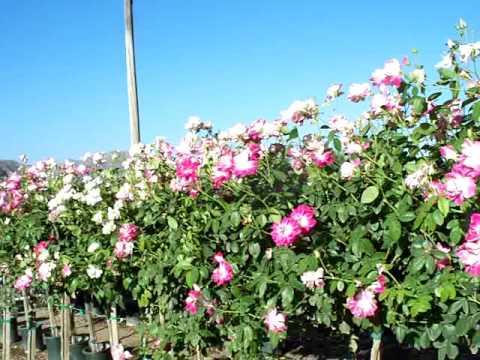 Brilliant Pink Iceberg Floribunda Rose Rose Tree36 Brilliant Pink