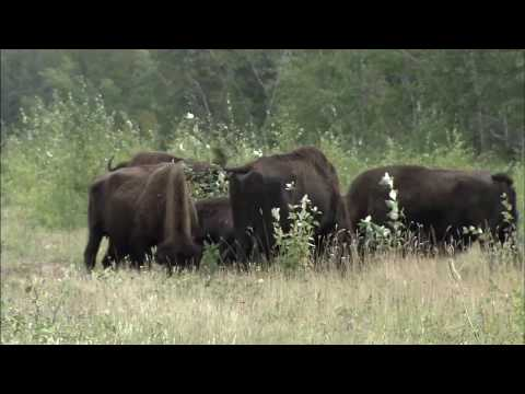 Wood Buffalo National Park is the largest national park in Canada. Sprawling across northeastern Alberta and southern Northwest Territories, it was originall...