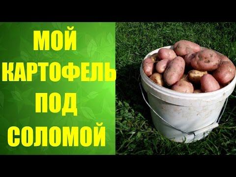 🌱 Как я выращиваю картофель под соломой. Посадка картофеля ростками. #ненужноокучивать