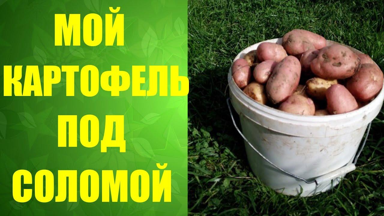 Технология выращивания картофеля под соломой и сеном 68