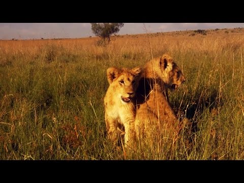 Lions George and Yame's Story So Far | The Lion Whisperer