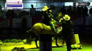1a Mundial de Caballos montados por Jinetes y Amazonas no profesionales. DOMINGO