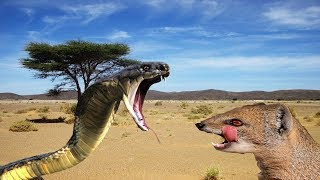 King Cobra VS Mongoose - Who Will Be The Winner - Wild Animals TV