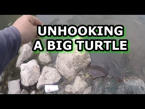 CATCHING AND RELEASING A SOFTSHELL TURTLE