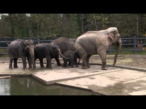 Baby elephant Lily meets her dad