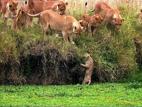 Lion Cub Falls in the Water - Little Big Cat - BBC Music Videos