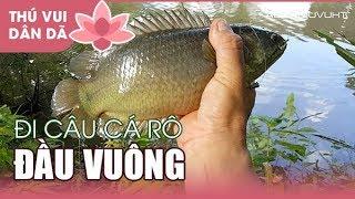 0559 Săn Cá Rô Khủng  Ao Nhà Cậu Út Tìm Cảm Giác l Catching Big Fish