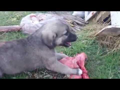 Kangal yavrusu yemek yerken ellenmez