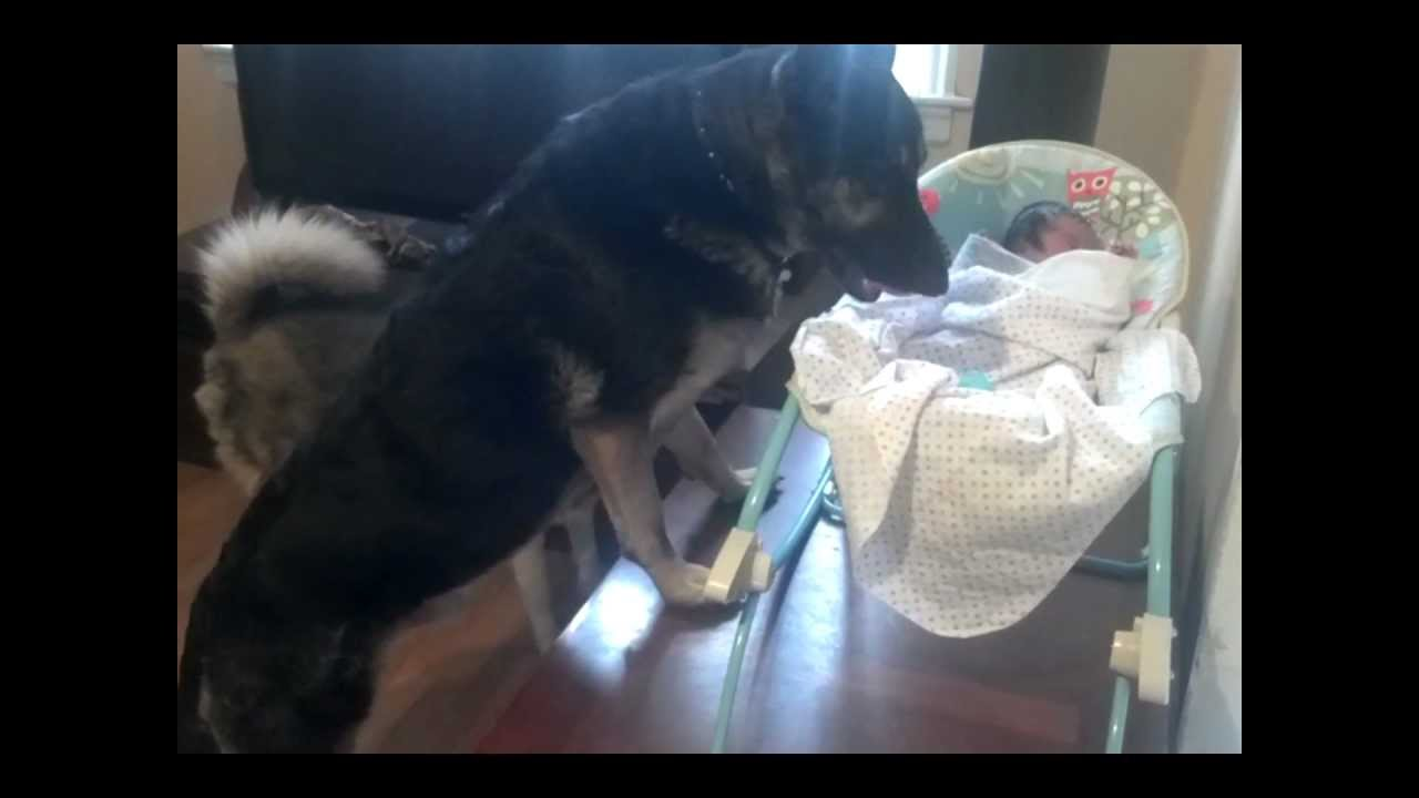 German Shepherd Protecting Newborn Baby Youtube