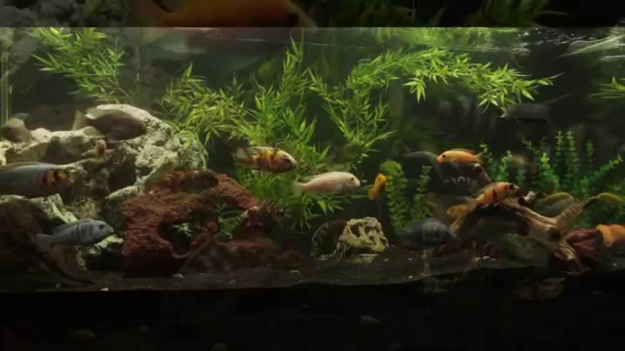 Planted African Cichlid Tank Fake Plants Sept 30th